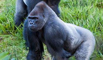 Gorillas at Paignton Zoo